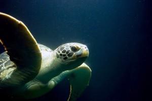 tortuga-verde-marina sin copy